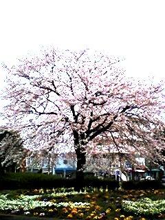 湖北駅南口ロータリーの一本桜♪
