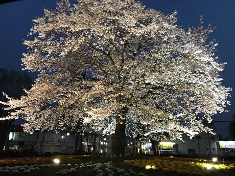 JR湖北駅南口の一本桜